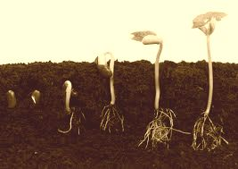 seed sprouting sepia